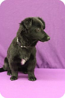 Collie/Dachshund Mix Puppy for adoption in Broomfield, Colorado - Cardinal