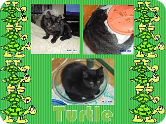 Domestic Shorthair Kitten for adoption in Washington, D.C. - Turtle