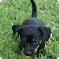 Adopt A Pet :: Romy - Staunton, VA