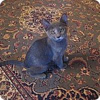 Adopt A Pet :: Loxi - Chandler, AZ
