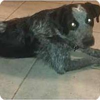 Adopt A Pet :: Wild Bill Hitchcock - Phoenix, AZ
