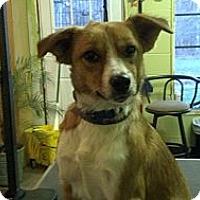 Adopt A Pet :: Bella (Reduced to $300) - Brattleboro, VT