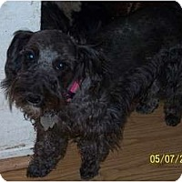 Adopt A Pet :: Munchkin - Andrews, TX