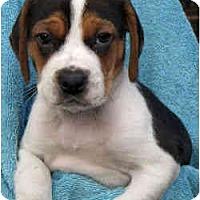 Adopt A Pet :: Oreo - Novi, MI