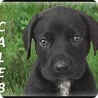 Adopt A Pet :: Caleb-ADOPTION PENDING - Marlborough, MA