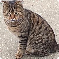 Adopt A Pet :: Bobcat - Long Beach, NY