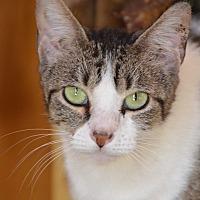 Domestic Shorthair Cat for adoption in Jackson, Mississippi - JuneBug