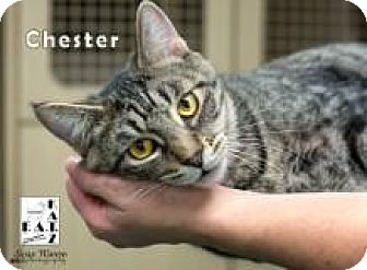 Domestic Shorthair Cat for adoption in Albuquerque, New Mexico - Chester