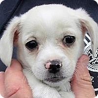 Adopt A Pet :: Mozart - Germantown, MD