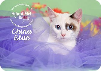 Siamese Cat for adoption in Houston, Texas - China Blue