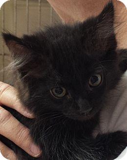 Domestic Longhair Kitten for adoption in Fresno, California - Ebony