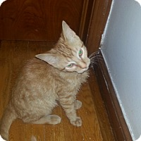 Domestic Shorthair Cat for adoption in Warren, Michigan - Rags