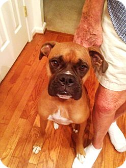 Boxer Dog for adoption in Turnersville, New Jersey - Bo is Adopted!
