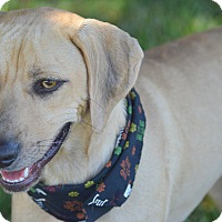 Vizsla/Black Mouth Cur Mix Dog for adoption in San Leon, Texas - Paisley