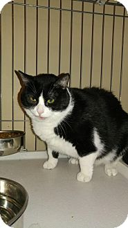Domestic Shorthair Cat for adoption in Bolingbrook, Illinois - WILLOW