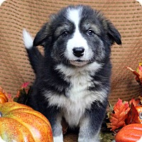 Adopt A Pet :: OCTAVIA - Westminster, CO
