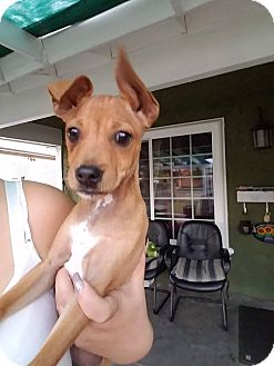 Basenji Mix Puppy for adoption in Monrovia, California - Rudy