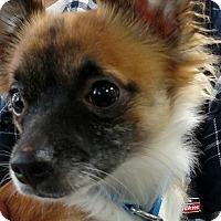Adopt A Pet :: Foxy Hunter - Yuba City, CA