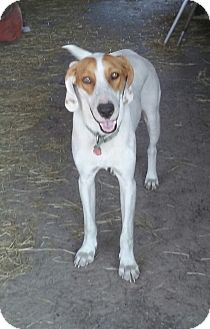Hound (Unknown Type) Dog for adoption in Hudson, Florida - Clyde
