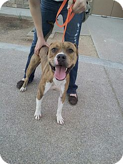 Boxer Dog for adoption in Scottsdale, Arizona - Striker
