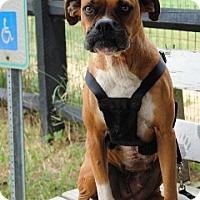 Adopt A Pet :: Lailah - Sunderland, MA