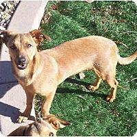 Adopt A Pet :: Bluey - Only $75 adoption fee! - Litchfield Park, AZ