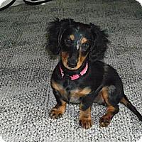 Adopt A Pet :: HERTA - Portland, OR