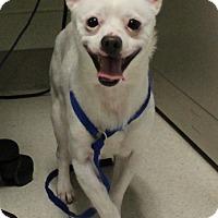 Adopt A Pet :: Casper the Friendly Chi - Woodland, CA