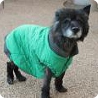 Chow Chow Dog for adoption in Memphis, Tennessee - JoJo