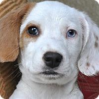 Adopt A Pet :: LEWIS - Pine Grove, PA