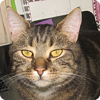 Domestic Shorthair Cat for adoption in New Windsor, New York - Baron