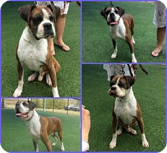 Boxer Dog for adoption in Austin, Texas - Arturo