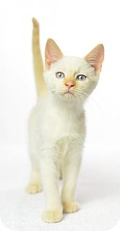 Siamese Cat for adoption in Oxford, Mississippi - Sydney