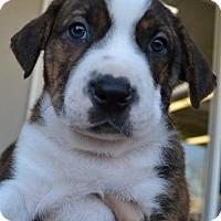 Adopt A Pet :: Levi - San Diego, CA