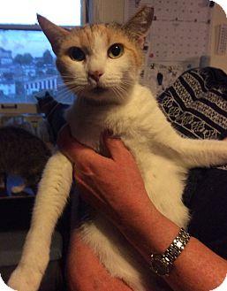 Calico Cat for adoption in Mt Pleasant, Pennsylvania - Camille