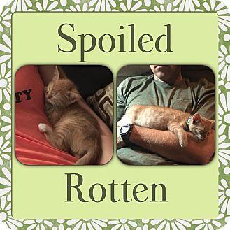Domestic Shorthair Kitten for adoption in Stafford, Virginia - Titus