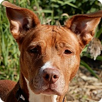 Adopt A Pet :: Remy - Long Beach, NY