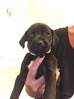 Labrador Retriever/Shepherd (Unknown Type) Mix Puppy for adoption in Newport, Kentucky - Rosie