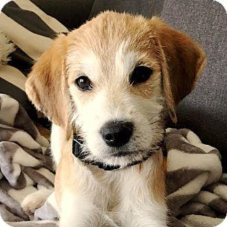Wheaten Terrier Mix Puppy for adoption in Cincinnati, Ohio - Cooper