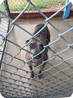 Catahoula Leopard Dog Mix Dog for adoption in Aurora, Missouri - Mocca