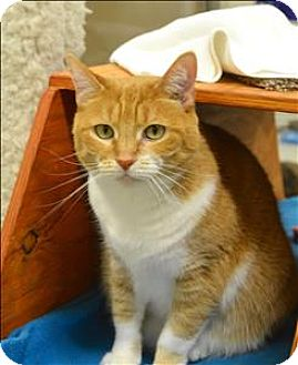 Domestic Shorthair Cat for adoption in Delaware, Ohio - Rosie