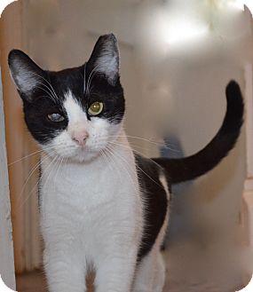 Domestic Shorthair Cat for adoption in Horsham, Pennsylvania - Eddie & Sebastian