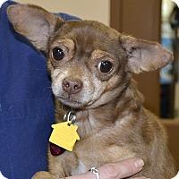 Adopt A Pet :: Shadow - Independence, MO