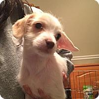 Adopt A Pet :: Noelle - bridgeport, CT