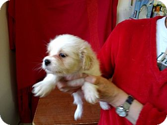 Maltese/Shih Tzu Mix Puppy for adoption in Seattle, Washington - Tag