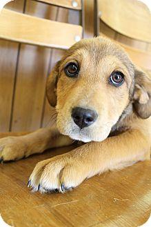 Beagle/Labrador Retriever Mix Puppy for adoption in Wytheville, Virginia - Halo