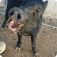 Adopt A Pet :: Annie - Las Vegas, NV