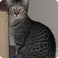Adopt A Pet :: Ambra - North Highlands, CA