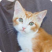 Adopt A Pet :: Carrot - Irvine, CA