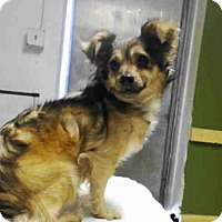 Adopt A Pet :: Shirley - Simi Valley, CA